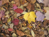 Autumn Fall colour leaves - Maple - Birch - Poplar - Great Smoky Mountains, USA. Photographic Print by David Hosking