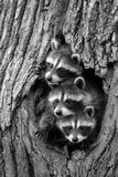 Common Raccoon (Procyon lotor) three young, at den entrance in tree trunk, Minnesota, USA Lámina fotográfica por Jurgen & Christine Sohns