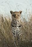 African Leopard (Panthera pardus pardus) adult female, stalking in long grass, Masai Mara, Kenya Impressão fotográfica por Elliott Neep