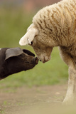 Domestic Pig, British Saddleback piglet, with lamb, sniffing each other Photographic Print by Paul Miguel