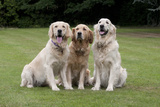 Domestic Dog, Golden Retriever, three adult females, sitting on garden lawn Photographic Print by Angela Hampton