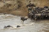 Blue Wildebeest (Connochaetus taurinus) herd, at river crossing on migration, Entim, Masai Mara Fotografisk tryk af Shem Compion
