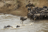 Blue Wildebeest (Connochaetus taurinus) herd, at river crossing on migration, Entim, Masai Mara Photographic Print by Shem Compion