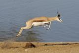 Springbok (Antidorcas marsupialis) adult, leaping beside waterhole, Etosha , Kunene Photographic Print by Shem Compion