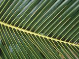 Leaves Close up of Palm leaves Photographic Print by David Hosking