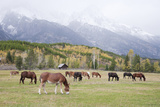 Mules (male donkey x female horse) and Horses, herd, with mountains in background Stampa fotografica di Bill Coster