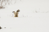 American Red Fox (Vulpes vulpes fulva) adult, hunting, jumping on prey in snow, Yellowstone Fotografie-Druck von Paul Hobson