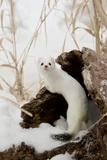 Stoat (Mustela erminea) adult, in 'ermine' white winter coat, climbing over log in snow, Minnesota Lámina fotográfica por Paul Sawer