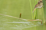 Least Bittern (Ixobrychus exilis) adult female Reproduction photographique par Bill Coster