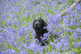 Domestic Dog, sitting amongst Bluebell (Endymion non-scriptus) flowering mass in woodland Photographic Print by John Eveson