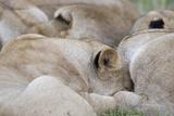 Massai Lion (Panthera leo nubica) adult females, pride sleeping, Masai Mara, Kenya Photographic Print by Elliott Neep
