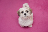 Domestic Dog, Shih Tzu, puppy, sitting on pink carpet Photographic Print by Angela Hampton