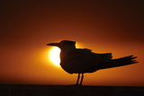 Royal Tern (Sterna maxima) silhouetted at sunset, with fishing line around legs, Florida Reproduction photographique par Mark Sisson