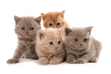 Domestic Cat, Selkirk Rex, four kittens, sitting Photographic Print by Chris Brignell