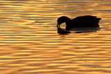 American Coot (Fulica americana) adult, feeding on water, silhouetted at sunset, Florida Reproduction photographique par Edward Myles