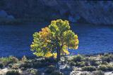 Utah The golden glow of the Cottonwood tree in Autumn, Dinosaur NP. Utah, USA Photographic Print by David Hosking
