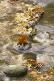 Tennessee Maple leaf in stream - Great Smoky Mountains, USA. Photographic Print by David Hosking