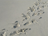 Galapagos Sealion (Zalophus califonianus wollebaeki) tracks, on sandy beach, Galapagos Islands Lámina fotográfica por Jean Hosking