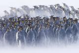 King Penguin (Aptenodytes patagonicus) colony, huddled together during snowstorm, South Georgia Fotografie-Druck von David Tipling