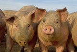 Domestic Pig, young, group in open field on commercial freerange unit, Norfolk Fotografie-Druck von Roger Tidman