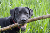 Domestic Dog, Black Labrador Retriever, adult, close-up of head Photographic Print by Angela Hampton
