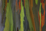 rainbow eucalyptus tree bark Fotografisk tryk af Edward Myles