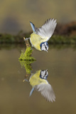 Blue Tit (Cyanistes caeruleus) adult, drinking, perched on mossy stump in water with reflection Reproduction photographique par Paul Sawer