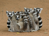 Ring-tailed Lemur (Lemur catta) four adults, sitting on ground, huddled together, Berenty Fotografisk tryk af Martin Withers