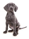 Domestic Dog, Weimaraner, blue short-haired variety, puppy Fotoprint van Chris Brignell