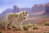 Grey Wolf (Canis lupus) adult, standing in high desert, Monument Valley, Utah Fotoprint van Jurgen & Christine Sohns