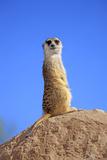 Meerkat (Suricata suricatta) adult, on lookout, Little Karoo, Western Cape Lámina fotográfica por Jurgen & Christine Sohns