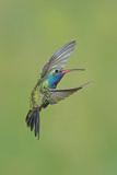 Broad-billed Hummingbird (Cynanthus latirostris) adult male, in flight, Amado, Arizona Photographic Print by Des Ong