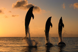 Common Bottlenose Dolphin (Tursiops truncatus) three adults, leaping, silhouetted at sunset, Roatan Fotografisk tryk af Jurgen & Christine Sohns