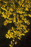 Striped Maple (Acer pensylvanicum) Backlit in Fall, Autumn colour - Appalachian's USA. Photographic Print by David Hosking