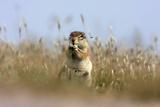 Ground squirrel eating grass - botswana Photographic Print by David Hosking