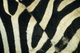 Burchell's Zebra (Equus burchellii) stripes, Botswana Photographic Print by Andrew Parkinson