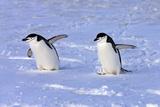 Chinstrap Penguin (Pygoscelis antarctica) two adults, walking on snow, Antarctic Peninsula Fotografisk tryk af Jurgen & Christine Sohns