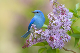Mountain Bluebird (Sialia currucoides) adult male, perched on flowering lilac, USA Fotografisk tryk af S & D & K Maslowski