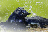Great-tailed Grackle (Quiscalus mexicanus) adult male, bathing, Texas, USA Reproduction photographique par Bill Coster