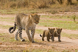 African Leopard (Panthera pardus pardus) adult female with two cubs, walking, Masai Mara, Kenya Fotografisk tryk af Paul Sawer