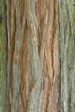 Incense Cedar (Calocedrus decurrens) bark, close-up of trunk, in botanical garden, july Fotografie-Druck von Krystyna Szulecka