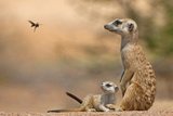 Meerkat (Suricata suricatta) adult 'baby-sitter' with young, South Africa Photographic Print by Shem Compion