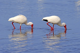 American White Ibis (Eudocimus albus) two adults, foraging in shallow water, Florida Reproduction photographique par Jurgen & Christine Sohns