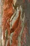 Rainbow Eucalyptus (Eucalyptus deglupta) close-up of bark, Northern Territory Fotografisk tryk af Krystyna Szulecka