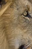 Lion eye Photographic Print by David Hosking