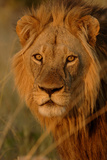Lion (Panthera leo) adult male, close-up of head, Botswana Fotografisk tryk af Malcolm Schuyl