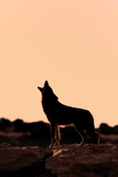 Coyote (Canis latrans) adult, howling, silhouetted at sunrise in high desert, Monument Valley Lámina fotográfica por Jurgen & Christine Sohns