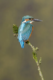 Common Kingfisher (Alcedo atthis) adult male, perched on mossy twig, Suffolk, England Reproduction photographique par Paul Sawer
