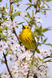 Yellow Warbler (Dendroica petechia) adult male, singing, perched in flowering cherry, USA Photographic Print by S & D & K Maslowski