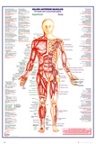 Human Body Major Anterior Muscles Posters